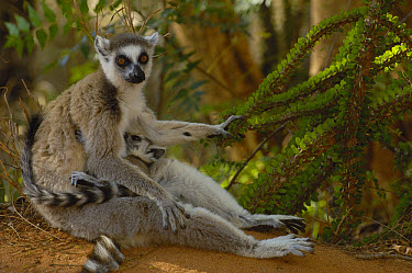 Ring-tailed Lemur (Lemur catta) mother and baby sitting at the base of an Octopus tree, vulnerable, Berenty Reserve, southern Madagascar  -  Pete Oxford