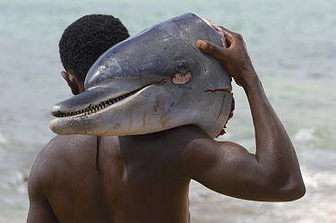 Bottlenose Dolphin (Tursiops truncatus) head carried by man, a victim of bycatch, small fishing village of Lavanono on the southern coast of Madagascar  -  Pete Oxford