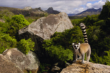 Ring-tailed Lemur (Lemur catta) portrait, vulnerable, overlooking the Andringitra Mountains, south central Madagascar  -  Pete Oxford