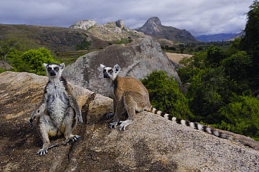 Ring-tailed Lemur (Lemur catta) pair overlooking the Andringitra Mountains, vulnerable, south central Madagascar  -  Pete Oxford