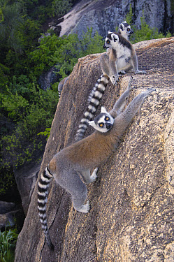 Ring-tailed Lemur (Lemur catta) trio lounging on rocks in the Andringitra Mountains, vulnerable, south central Madagascar  -  Pete Oxford
