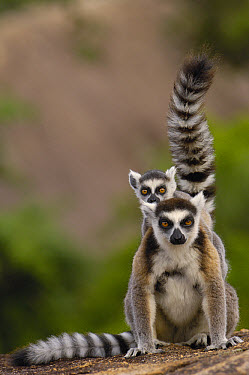 Ring-tailed Lemur (Lemur catta) mother and young, vulnerable, near Andringitra Mountains, south central Madagascar  -  Pete Oxford