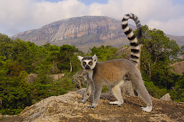 Ring-tailed Lemur (Lemur catta) portrait on rocks overlooking the Andringitra Mountains, vulnerable, south central Madagascar  -  Pete Oxford