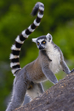 Ring-tailed Lemur (Lemur catta) portrait on rocks in the Andringitra Mountains, vulnerable, south central Madagascar  -  Pete Oxford