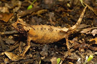 Spiny Leaf Chameleon (Brookesia decaryi) near Andringitra Massif, south central Madagascar  -  Pete Oxford