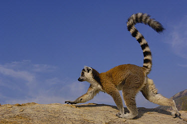 Ring-tailed Lemur (Lemur catta) walking across rocks in the Andringitra Mountains, vulnerable, south central Madagascar  -  Pete Oxford