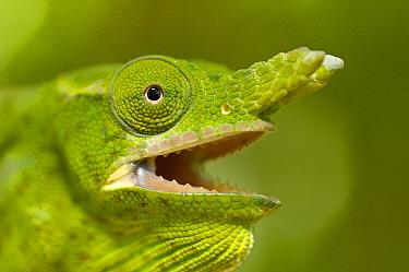 Petter's Chameleon (Furcifer petteri) portrait with open mouth, Montagne D'ambre National Park, Madagascar  -  Pete Oxford