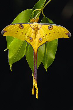 Madagascar Moon Moth (Argema mittrei) male on Jamun (Eugenia jambolana) leaves in the eastern highlands south of Antananarivo, Madagascar  -  Pete Oxford