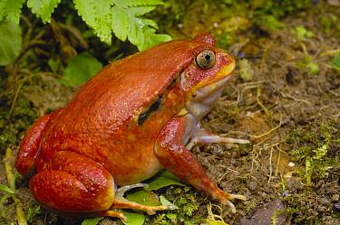 Tomato Frog (Dyscophus antongilii) female from north eastern rainforest, very rare in nature, Maroantsetra and Bay of Antongil or Masoala Peninsula, Madagascar  -  Pete Oxford