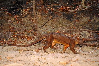 Fossa (Cryptoprocta ferox) walking in sand along forest border, endangered, Madagascar  -  Pete Oxford