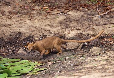 Fossa (Cryptoprocta ferox) at waterhole, endangered, Madagascar  -  Pete Oxford