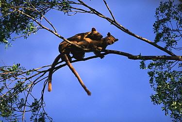 Fossa (Cryptoprocta ferox) pair mating in tree, endangered, Madagascar  -  Pete Oxford