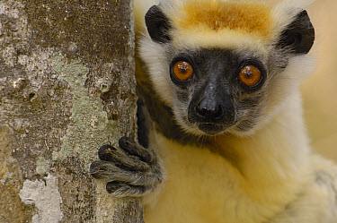 Golden-crowned Sifaka (Propithecus tattersalli) peeking around tree trunk, critically endangered, Daraina, northeast Madagascar  -  Pete Oxford