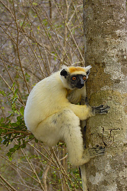 Golden-crowned Sifaka (Propithecus tattersalli) clinging to tree trunk, critically endangered, Daraina, northeast Madagascar  -  Pete Oxford