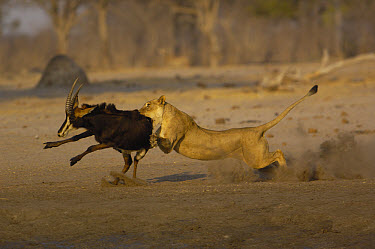 African Lion (Panthera leo) female bringing down Sable Antelope (Hippotragus niger), Africa  -  Pete Oxford