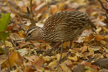 Crested Francolin (Dendroperdix sephaena) foraging in the leaves for food, Africa  -  Pete Oxford