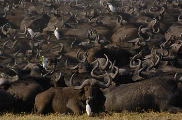 Cape Buffalo (Syncerus caffer) herd resting with a few Cattle Egret (Bubulcus ibis), Africa  -  Pete Oxford