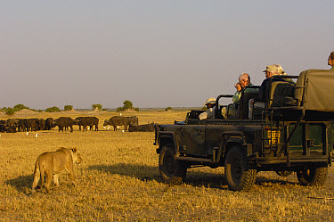 African Lion (Panthera leo) watched by tourists, vulnerable, Africa  -  Pete Oxford