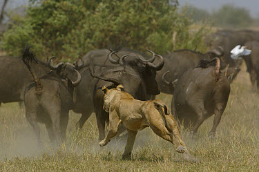 African Lion (Panthera leo) chasing Cape Buffalo (Syncerus caffer) herd, Africa  -  Pete Oxford