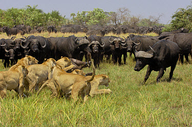 African Lion (Panthera leo) group killing Cape Buffalo (Syncerus caffer) while fending off rest of herd, Africa  -  Pete Oxford