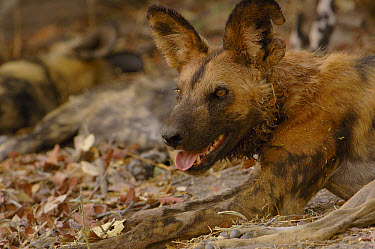 African Wild Dog (Lycaon pictus) panting, endangered, Africa  -  Pete Oxford