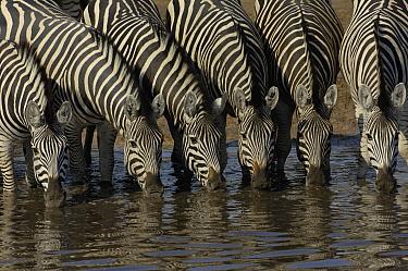 Burchell's Zebra (Equus burchellii) herd drinking at waterhole, Africa  -  Pete Oxford