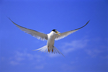 Least Tern (Sterna antillarum) flying against blue sky, Long Island, New York  -  Tom Vezo
