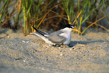 Least Tern (Sterna antillarum) on nest, Long Island, New York  -  Tom Vezo