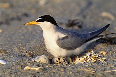 Least Tern (Sterna antillarum) on nest with eggs, Long Island, New York  -  Tom Vezo