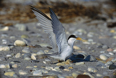 Least Tern (Sterna antillarum) parent spreading wings near newly hatched chicks in nest, Long Island, New York  -  Tom Vezo