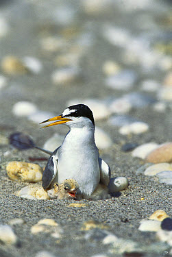 Least Tern (Sterna antillarum) parent sitting on nest with newly hatched chick, Long Island, New York  -  Tom Vezo