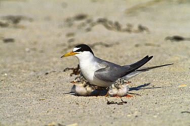 Least Tern (Sterna antillarum) parent with young chicks, Long Island, New York  -  Tom Vezo