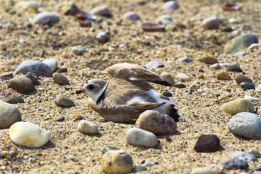 Piping Plover (Charadrius melodus) pretending to be wounded to distract predator from eggs and young, Long Island, New York  -  Tom Vezo