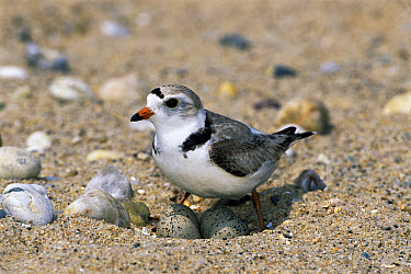 Piping Plover (Charadrius melodus) sitting on eggs in nest on ground, Long Island, New York  -  Tom Vezo