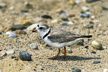 Piping Plover (Charadrius melodus) portrait, Long Island, New York  -  Tom Vezo