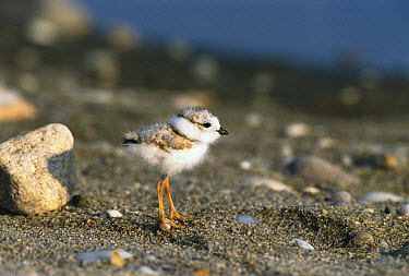 Piping Plover (Charadrius melodus) portrait of chick, Long Island, New York  -  Tom Vezo