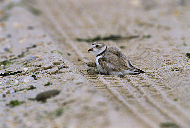 Piping Plover (Charadrius melodus) adult with chicks, Long Island, New York  -  Tom Vezo