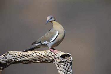 White-winged Dove (Zenaida asiatica), Green Valley, Arizona  -  Tom Vezo