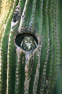 Ferruginous Pygmy Owl (Glaucidium brasilianum) adult peering out from nest hole in Saguaro (Cereus gigantea) cactus, Altar Valley, Arizona  -  Tom Vezo