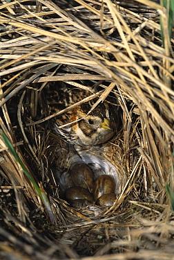 Lapland Bunting (Calcarius lapponicus) in nest with eggs, Nome, Alaska  -  Tom Vezo