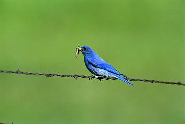Mountain Bluebird (Sialia currucoides) male perching on barbwire fence with prey in beak, Montana  -  Tom Vezo