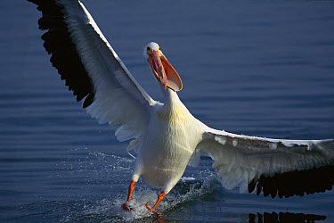 American White Pelican (Pelecanus erythrorhynchos) landing in water, Everglades National Park, Florida  -  Tom Vezo