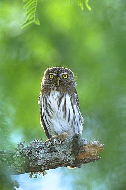 Ferruginous Pygmy Owl (Glaucidium brasilianum) perched on branch, Texas  -  Tom Vezo