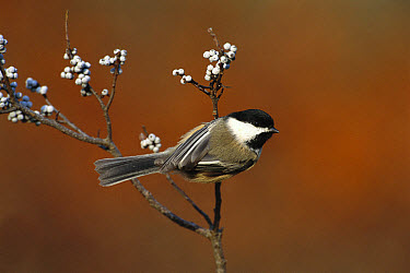 Black-capped Chickadee (Poecile atricapillus) in Bayberry bush, Long Island, New York  -  Tom Vezo