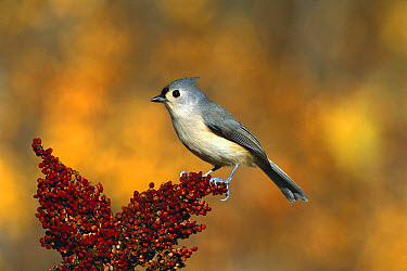 Tufted Titmouse (Baeolophus bicolor) perching, Long Island, New York  -  Tom Vezo