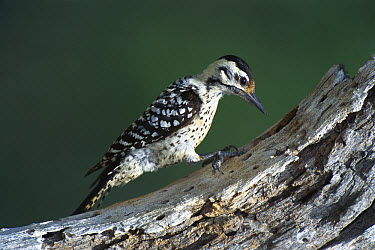 Ladder-backed Woodpecker (Picoides scalaris) on tree, Texas  -  Tom Vezo