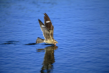Common Nighthawk (Chordeiles minor) skimming water off of lake while flying, Texas  -  Tom Vezo