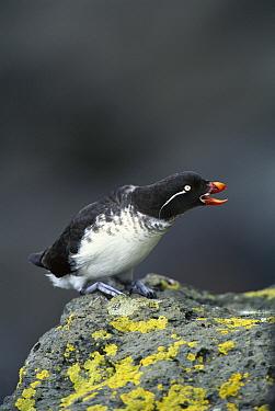 Parakeet Auklet (Cyclorrhynchus psittacula) calling, St Paul Island, the Pribilof Islands, Alaska  -  Tom Vezo