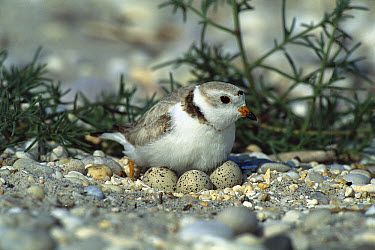 Piping Plover (Charadrius melodus) parent in incubating three eggs on ground nest, Long Island, New York  -  Tom Vezo