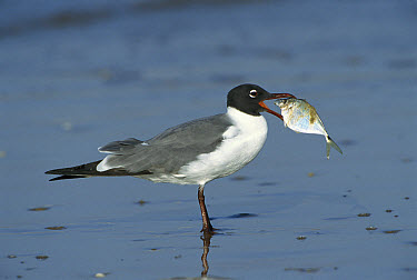 Laughing Gull (Leucophaeus atricilla) with Gulf Butterfish (Peprilus triacanthus) in mouth, too large to swallow whole, the bird eventually pecked it into smaller pieces, Texas  -  Tom Vezo